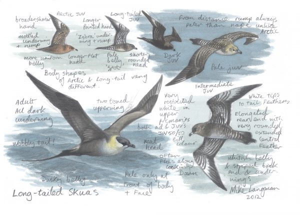 Long-tailed Skua - Sketches