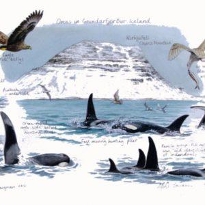 Orcas, Iceland