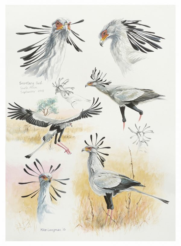 Secretary Bird Sketches, South Africa