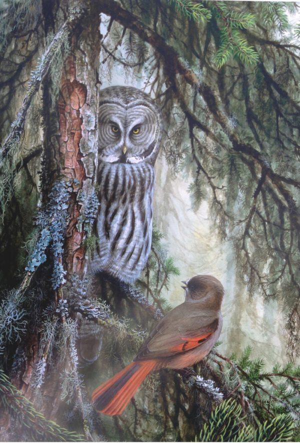 Siberian Jay Mobbing Great Grey Owl