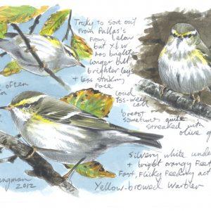 Yellow Browed Warbler Sketch